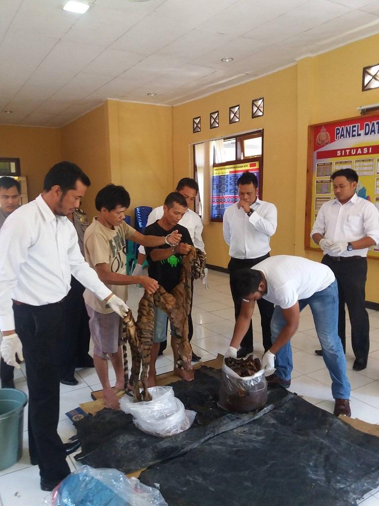 Polres Mukomuko Tangkap Tangan Penjual Harimau Sumatera