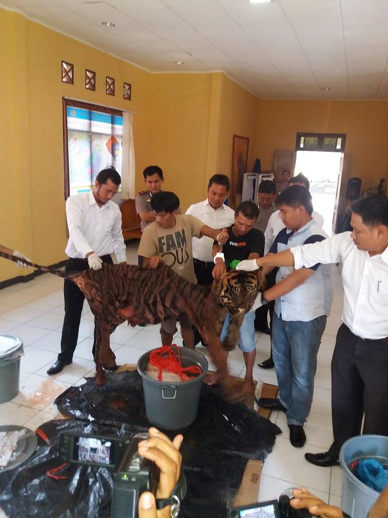 Polres Mukomuko Kejar Pembeli Organ Tubuh Harimau Sumatera