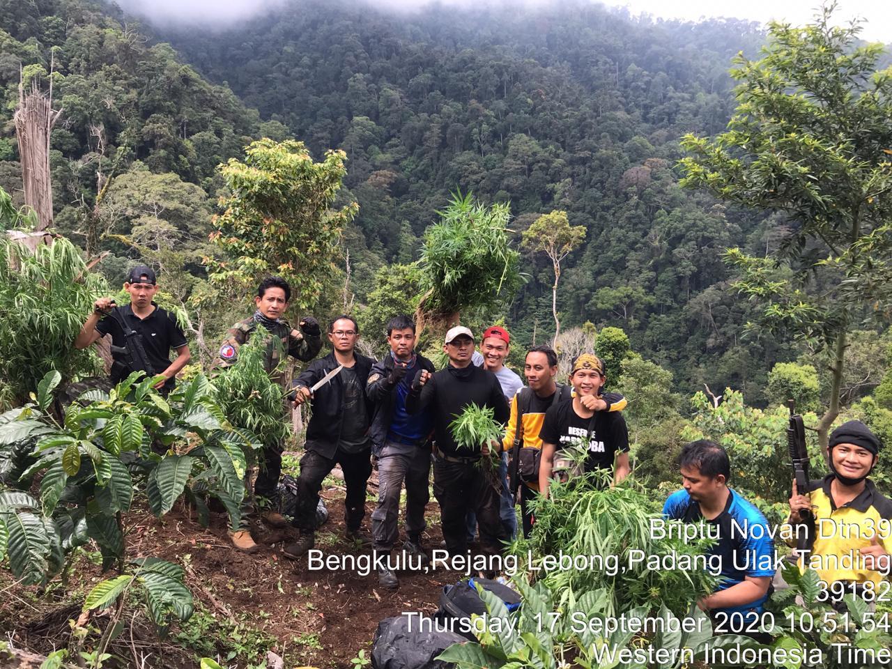 Ungkap Kebun Ganja, Dit Narkoba Polda Bengkulu Amankan BB 250 Kg Ganja Kering dan Senpi Rakitan