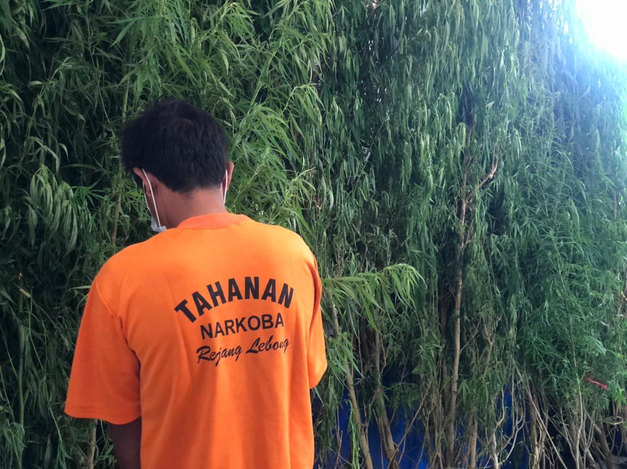 Polres RL Tangkap Petani Tanam Ganja, BB 36 Batang TInggi 3 Meter