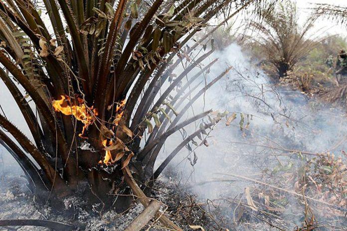Akibat Puntung Rokok, Kebun Sawit Terbakar