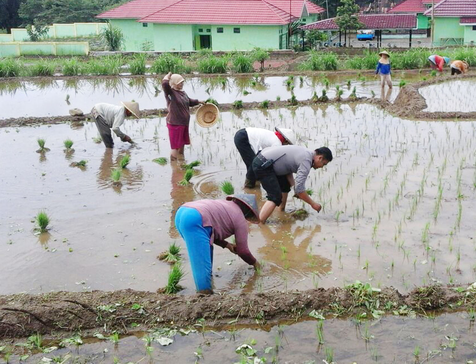 Bantu Petani, Bhabinkamtibmas Ikut Menanam Bibit Padi di Persawahan