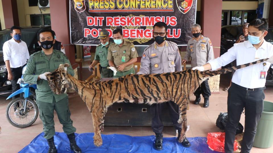 Polda Bengkulu Ungkap Perdagangan Kulit dan Organ Tubuh Harimau Sumatra