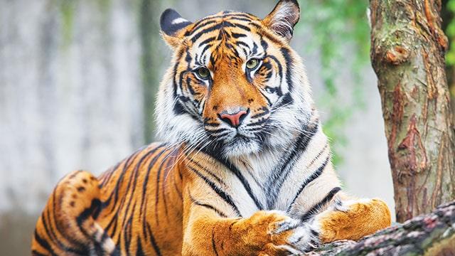 Kemunculan Harimau, Polsek Teras Terunjam Himbau Masyarakat Berhati-Hati Saat Berladang