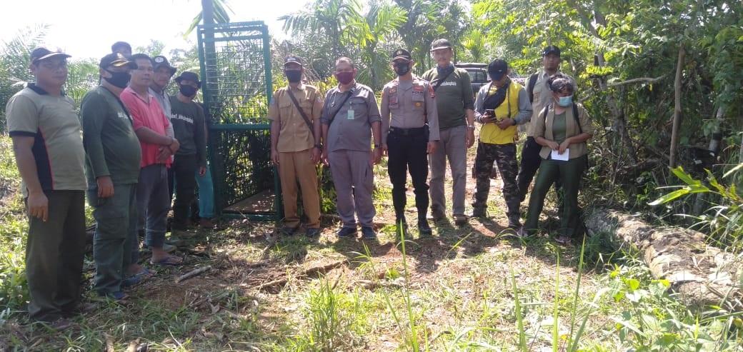 Tangkap Harimau Pemangsa Kambing Warga, Polres Seluma Bersama BKSDA Pasang Perangkap