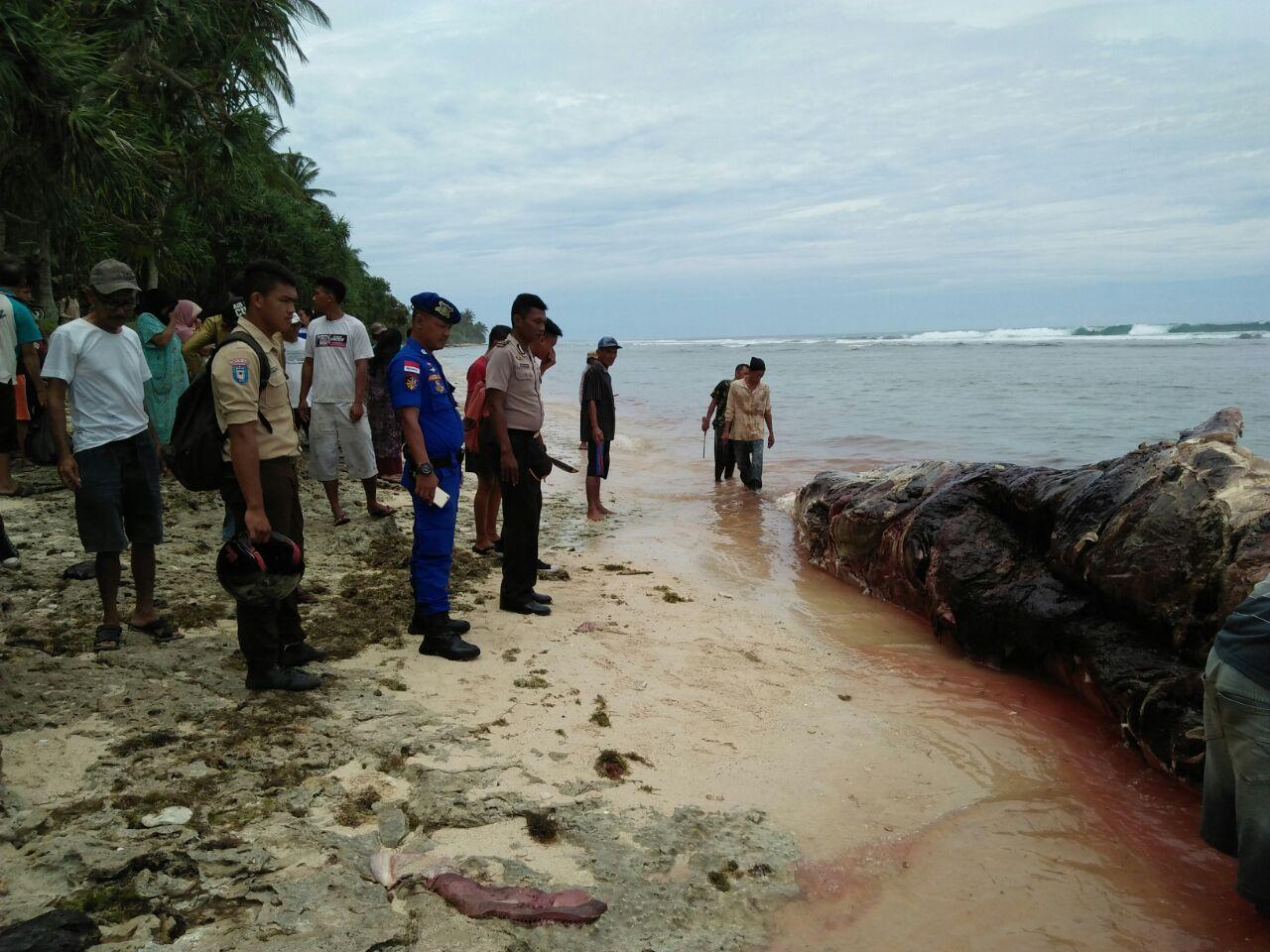 Ikan Paus Ditemukan Mati Terdampar di Pantai Pengubaian Kaur